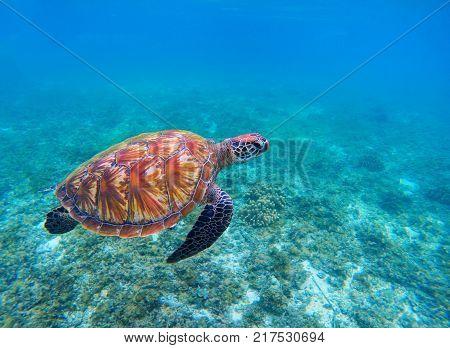 Swimming sea turtle in blue ocean closeup. Green sea turtle closeup. Endangered species of tropical coral reef. Tortoise photo. Tropic seashore. Summer travel seaside activity. Sea turtle snorkeling