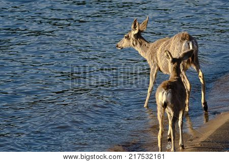 Family of Deer Walking Along the Water's Edge