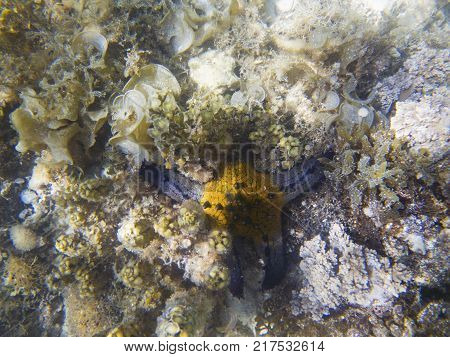 Underwater landscape with coral reef and blue yellow starfish. Pillow starfish in seawater. Shallow sea water. Seashore underwater animal. Star fish on white sand. Coral reef and marine animal