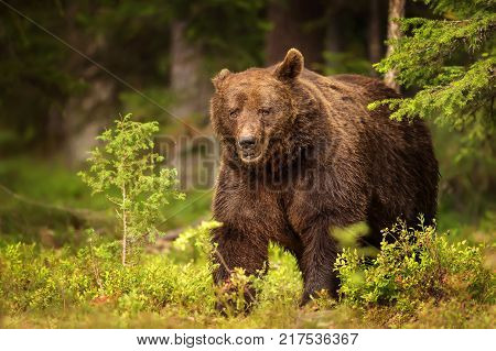 Close up of a large dominant brown bear male which lost one ear after a fight for domination. Summer in Finland. Amazing animals.