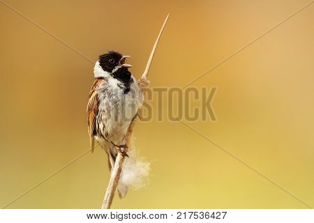 Male common reed bunting singing while perched on a reed in Rainham marshes nature reserve against bright yellow background, UK.