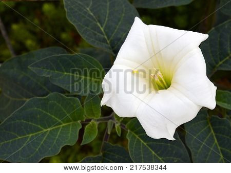 Datura flower (Moonflower,Datura wrightii,Devil's Trumpet,Angel Trumpet) in the garden.Selective focus.