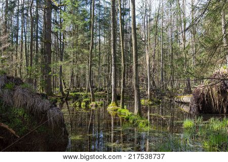 Springtime alder-bog forest with standing water, Bialowieza Forest, Poland, Europe
