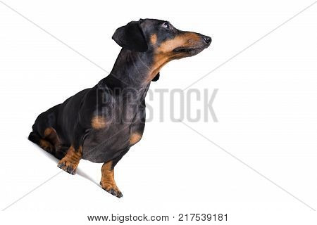 dog puppy dachshund black and tan looking up isolated on white background