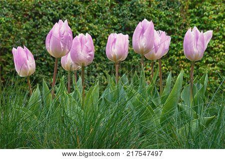 Spring flowers. Pink tulips (Tulipa) in the garden