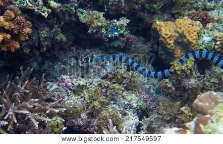 Striped sea snake underwater photo. Dangerous marine animal. Poisonous sea snake swims in shallow water. Striped seasnake. Seaside life threat. Aquatic animal. Seashore snorkeling threat. Coral reef