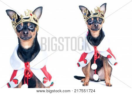 Dog in the crown like a king a prince. Portrait of a close-up of a dog of black color toyterrier chihuahua