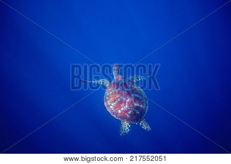 Sea turtle and blue sea abyss. Sea tortoise swims in deep blue ocean. Oceanic depth and turtle. Open water diving banner. Olive green turtle underwater photo. Marine animal undersea. Diving scene