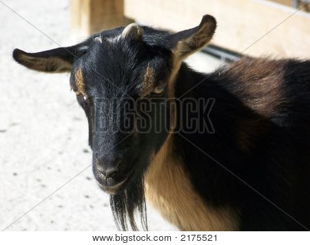 Young Black Goat