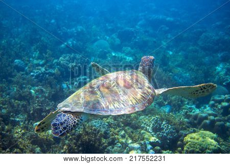 Marine green turtle swims above seabottom. Tropical island seashore nature. Summer travel. Snorkeling or diving banner. Sea turtle underwater photo. Marine animal undersea. Wild nature of tropical sea