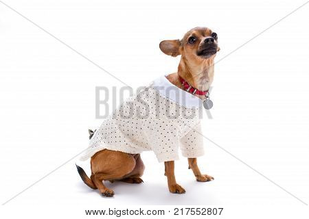 Cute little chihuahua in white clothes. Shorthaired adorable chihuahua wearing white modern blouse isolated on white background, studio shot.