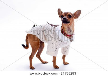 Beautiful chihuahua isolated on white background. Purebreed little female chihuahua wearing white blouse standing isolated on white background, studio shot.
