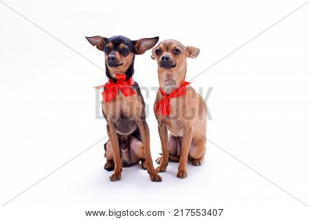 Adorable pedigree dogs with red bows. Russian chihuahua toy and toy-terrier with red ribbon isolated on white background, studio portrait. Beautiful domestic companions.