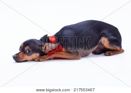 Lying toy-terrier, studio shot. Close up portrait of adorable tiny russian toy-terrier lying isolated on white background. Little pedigreed dog.