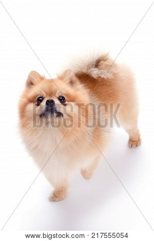 Lovely pomeranian spitz puppy. Fluffy orange pomeranian dog isolated on white background. Cute brown color spitz.