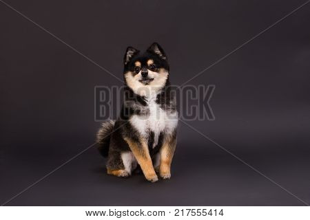 Portrait of cute pomeranian spitz. Pedigree fluffy dog sitting on dark background, studio shot. Adorable furry dog.