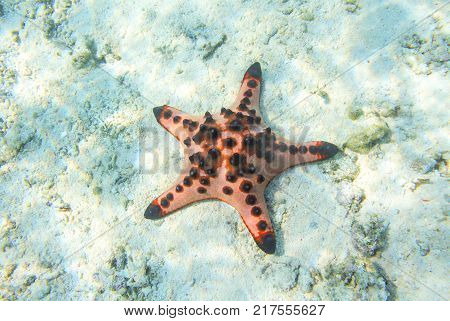 Red starfish in shallow water of tropical sea. Underwater landscape with pink starfish. Pillow starfish in seawater. Star fish with five tentacles. White sand shore and pink starfish