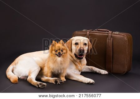 Two cute dogs and travel suitcase. Yellow labrador retriever and orange pomeranian spitz lying near brown luggage on black background, studio shot. Tourism and vacation concept.