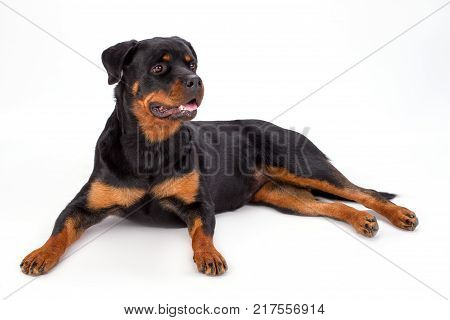 Cute rottweiler on white background. Studio shot of beautiful young rottweiler dog lying isolated on white background. Domestic pedigree canine.