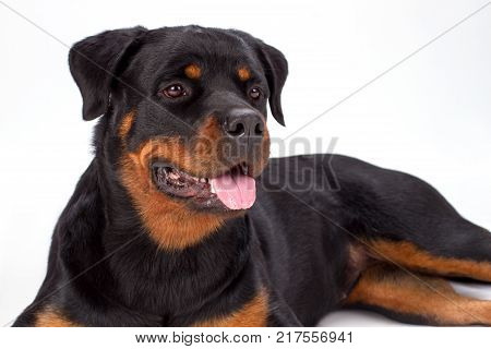 Close up studio portrait of rottweiler dog. Young beautiful rottweiler lying isolated on white background, studio shot close up. Pedigree domestic protection.