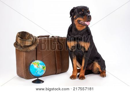 Portrait of rottweiler dog and travelling accessories. Young purebred rottweiler dog sitting with travel bag, hat and globe in studio. Holiday and resort concept.