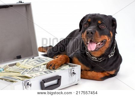 Close up portrait of rottweiler with suitcase of money. Young and strong rottweilwer dog lying with silver diplomat of cash over white background.