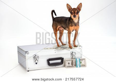 Toy-terrier standing on silver metal case. Little sleek-haired russian toy-terrier on suitcase with money and a bandle of dollars on white background, studio shot.