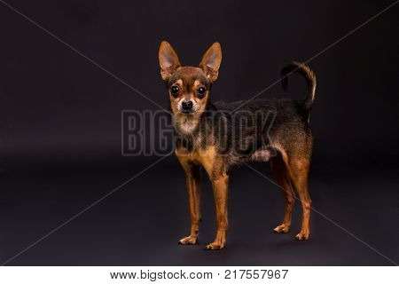 Lovely terrier puppy, studio portrait. Cute tiny pedigreed dog standinfg on dark gradient background. Charming miniature dog.