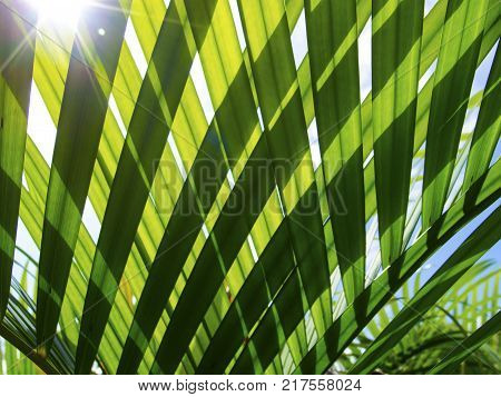 Green palm leaf transparent silhouette on sun. Palm leaf closeup. Green leaf of coco palm tree photo background. Sunny palm view through transparent leaf. Exotic vacation destination banner template