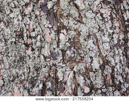 Rough old tree bark closeup photo texture. Rustic tree trunk closeup. Oak bark pattern. Textured lumber background. Weathered timber surface. Rough bark. Natural layered lumber texture. Old wood macro poster