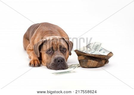 Cane corso with hat of money. Beautiful italian mastiff cane corso lying with hat full of paper money isolated on white background, studio shot. Charity and finance support concept.