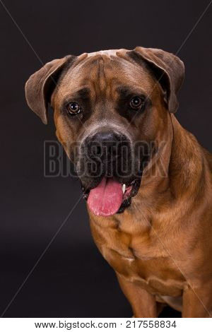 Close up studio portrait of brown cane corso. Adorable huge pedigreed dog cane corso on dark background, close up studio shot. Young domestic defender.