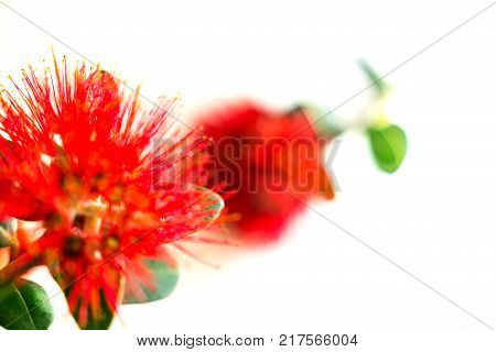 Abstract nature image defocused red flower of New Zealand Christmas tree or pohutukawa closeup on white.
