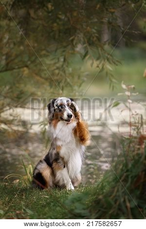 adorable australian shepherd dog posing in the park