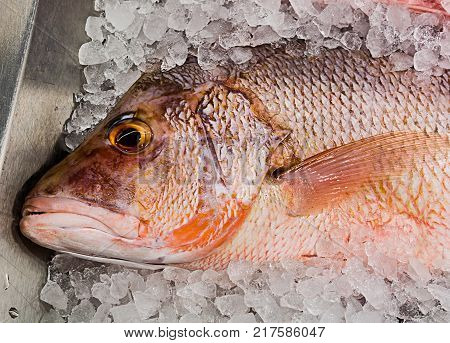 red mullet in the ice on the counter fish shop