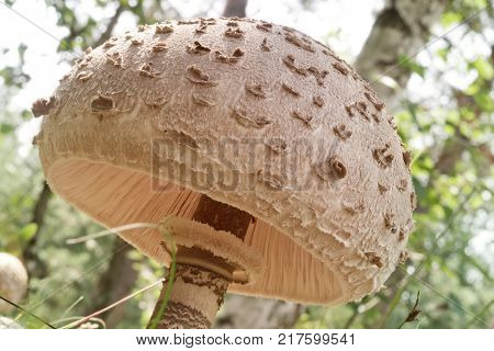 parasol mushroom with wide variegated cap. view on the gills poster