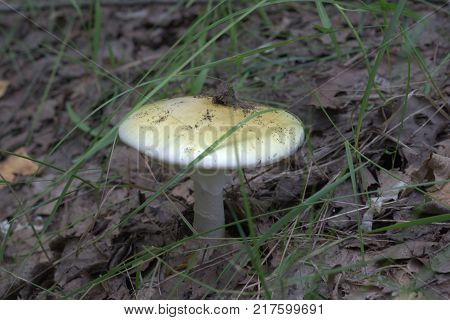 fresh deadly poisonous mushroom. death cap with characteristic fragments of universal veil on stem