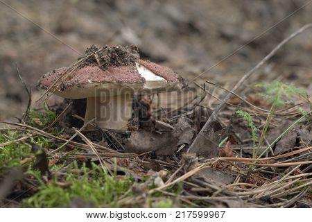 chestnut bolete. cap of the mushroom characteristically ripped at the edge