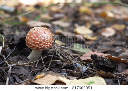 small fly agaric with curved white stem and red domed cap with characteristic spots