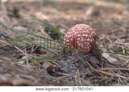 fly amanita. Young mushroom with domed cap. wellknown white spots