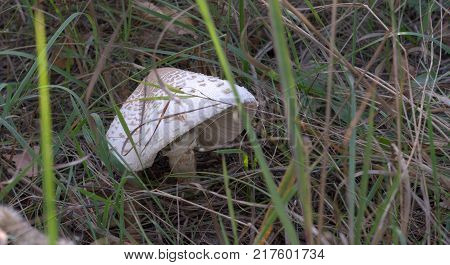 old parasol mushroom with big droopy cap and a short leg, retains fringe - the fluffy ringlet