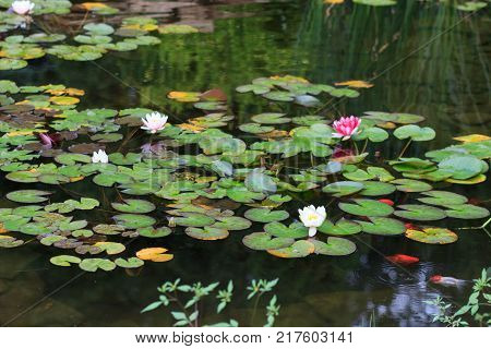 Yellow and Pink Water Lily on a Pond.