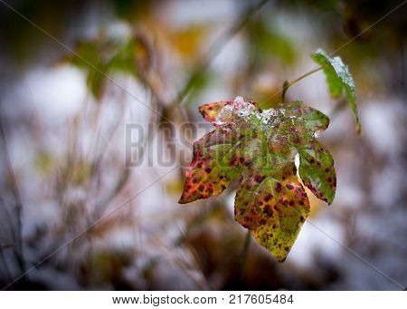 Multicolored maple fall leaf with snowy and woodsy background, single leaf