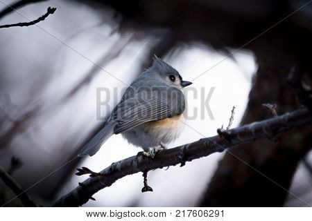 Puffed out rounded Titmouse bird on limb in winter with snowy background