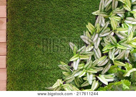 Background Pattern Beautiful Artificial Green and White Dieffenbachia or Dumb Cane Plants on Green Grass for Home and Office Decoration without The Care.