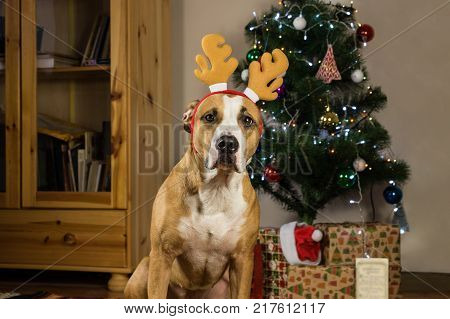 Dog with rudolf the reindeer hat sits in front of decorated fur tree and packed christmas presents. Staffordshire terrier puppy posing in cozy living room dressed up for new year celebration
