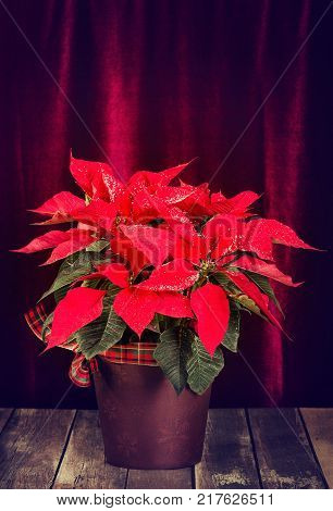 Red Poinsettia (Euphorbia pulcherrima) Christmas Star decorated with snow in a flower pot. Displayed against dark velvet background on rustic wooden table.
