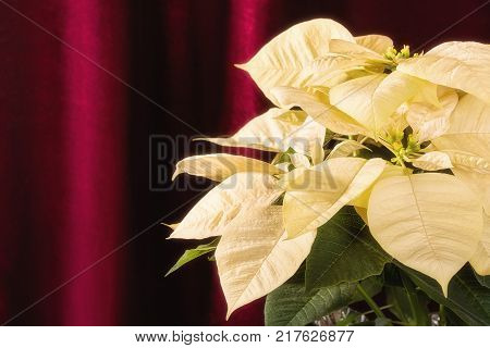 Close up of a cream white Poinsettia Christmas Star flower against dark velvet background.