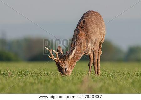 Roe deer grazing in a field. Roe deer in a spring amidst field full of saffron. Roe deer wildlife. Roe deer in winter coating