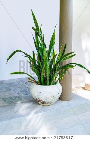 Tropical plant sansevieria trifasciata also known as